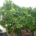 My favorite pic of the orange tree