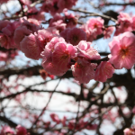I'm not exactly sure what the pink plum blossoms are called in Japanse, but they sure look nice.